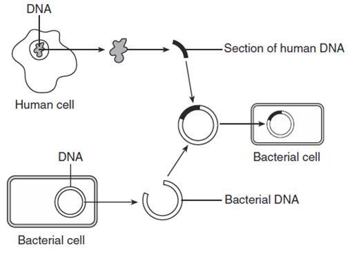diagram of genetic engineering of insulin enthusiast wiring diagrams u2022 rh rasalibre co genetic engineering process diagram genetic engineering flow diagram